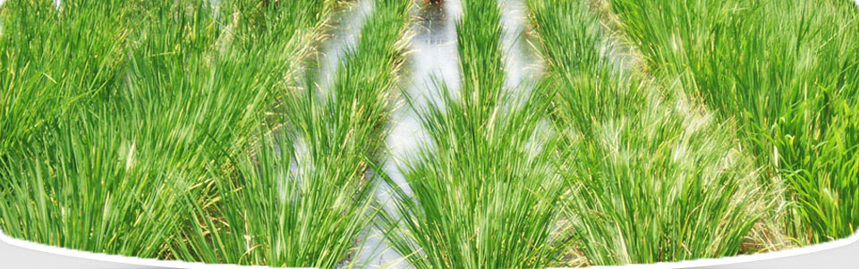 rice industry of pakistan Indian basmati rice industry rohit anand, cfa the size of the global rice industry is approximately 459 million in pakistan, basmati rice is grown in.